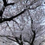 すいどうみち桜