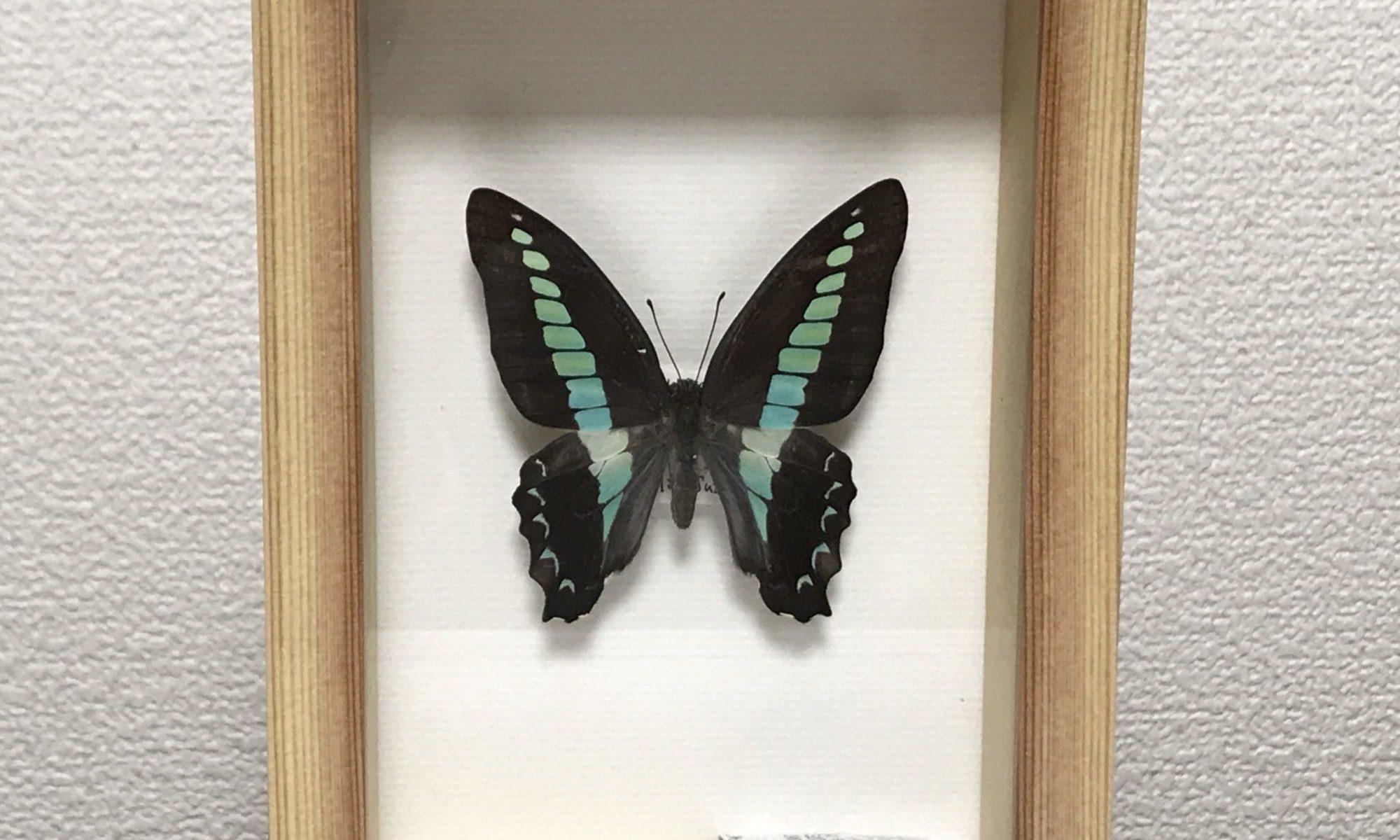 アオスジアゲハ標本